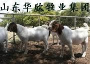 四川波尔山羊, 重�...