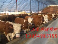 肉牛饲养、肉牛饲...