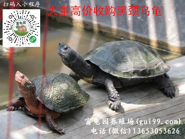 大量高价收购黑颈乌龟