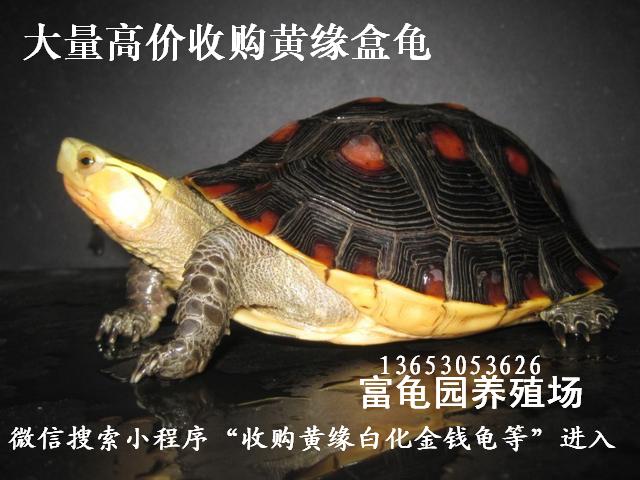 大量高价收购黄缘盒龟