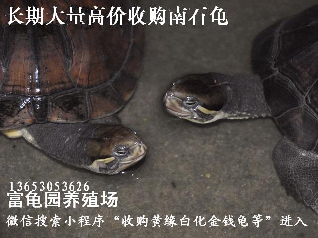 长期大量高价收购南石龟